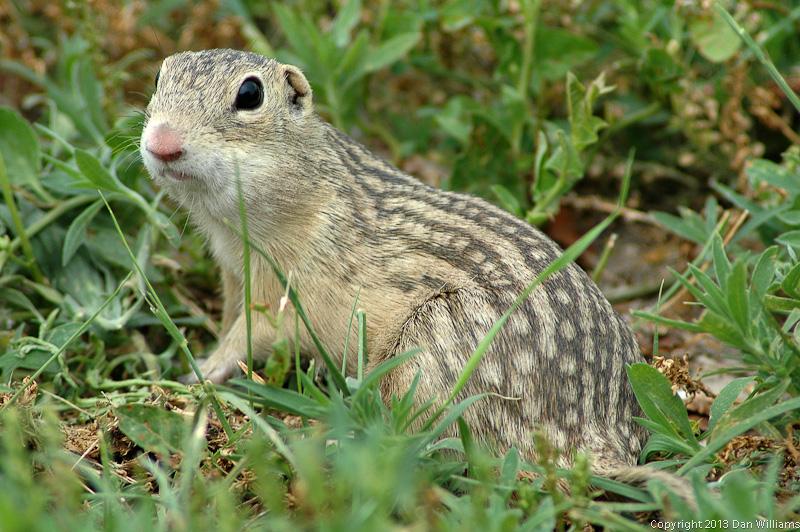 Ground Squirrel - Badlands, SD