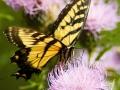 Swallowtail Buttefly
