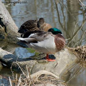 Mallard_Ducks-Dan_Zethril-2020